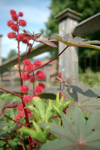 Castor bean near the fenced berry patch traditional