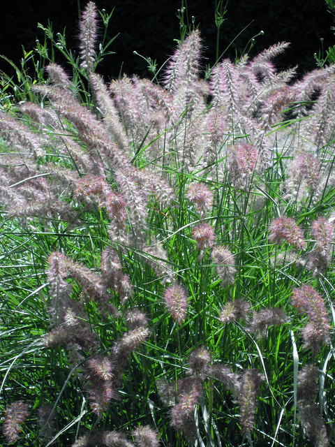 Karley Rose fountain grass (Pennisetum orientale Karley Rose)