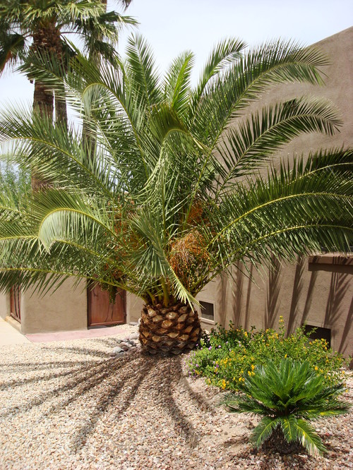 How Long Do Canary Island Date Palms Take To Grow