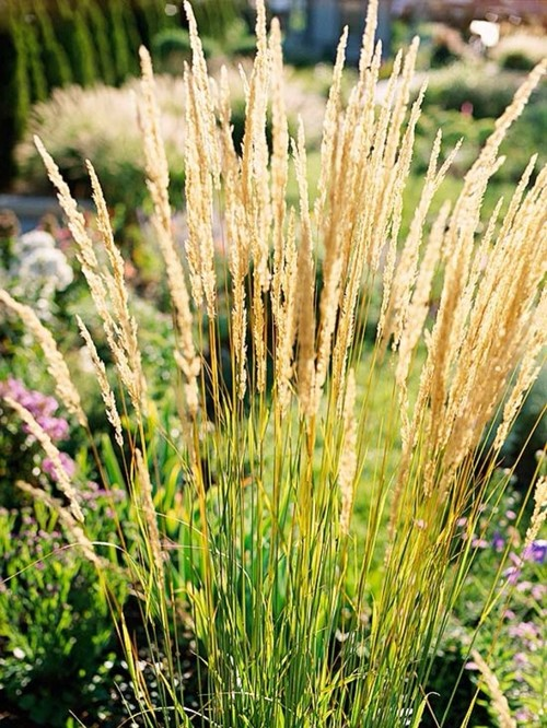 Upright ornamental grass varietals for 6 foot tall ornamental grass