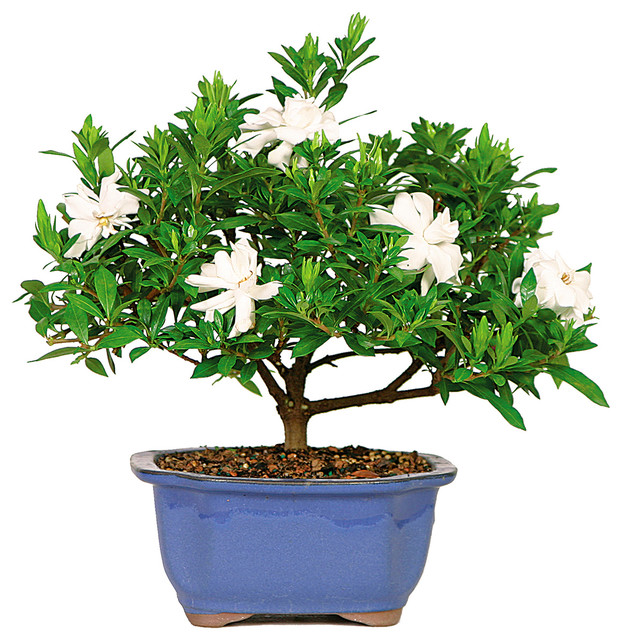 Gardenia bonsai tree small asian plants by brussel for Indoor decorative live plants