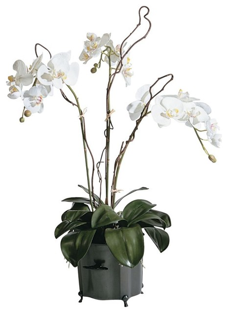 phalaenopsis orchid traditional-plants