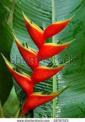 heliconia lobster claw hawaii - Bing Images
