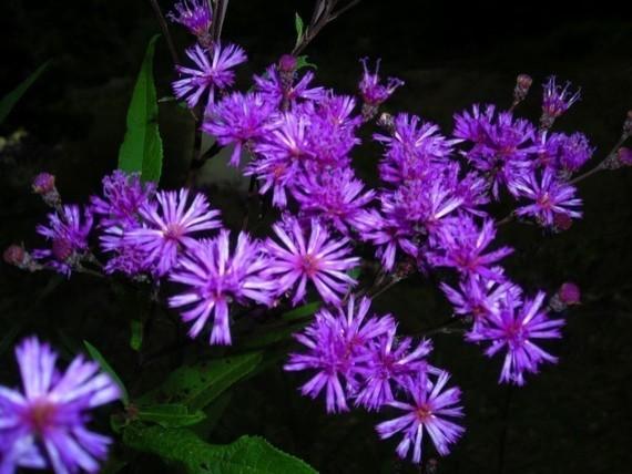 Purple Wildflower Seeds bulbs-and-seeds
