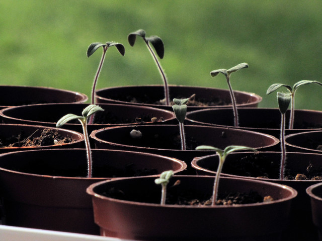 landscape Tomato seedlings