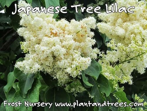 Japanese Tree Lilac, syringa reticulat 'Ivory Silk' Soft & fragrant ...