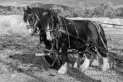 A Pair of Shire Horses - Francis Riley
