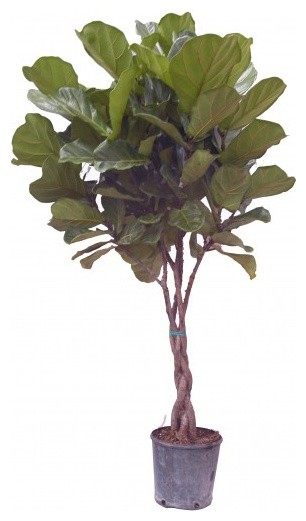 Ficus lyrata Fiddle Leaf Fig contemporary plants