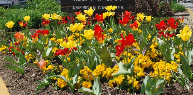 Flowering Bulbs -- Tulips traditional-landscape