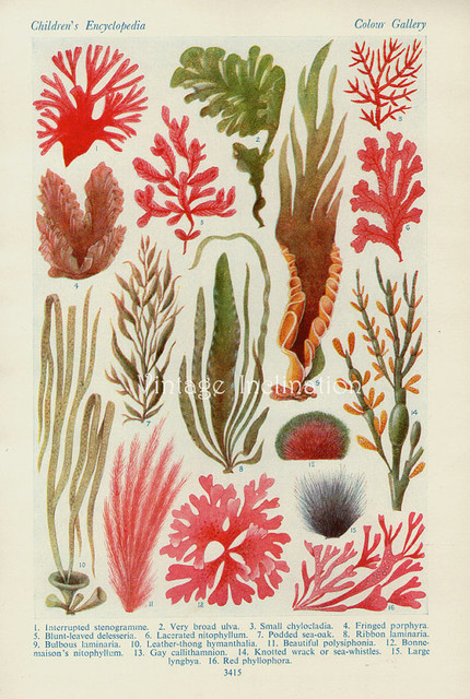 Vintage Botanical Print, British Seaweed by Vintage Inclination traditional-artwork