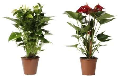 Anthurium potted plant contemporary plants by ikea for Indoor decorative live plants