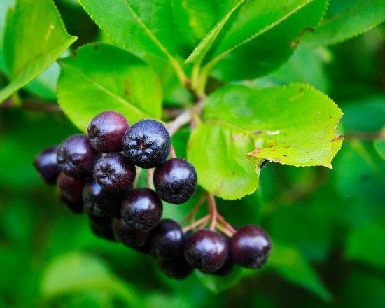Chokeberry - Not So Hollow Farm