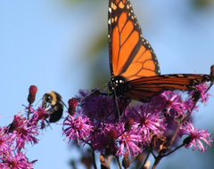 Great Native Plant -- Ironweed