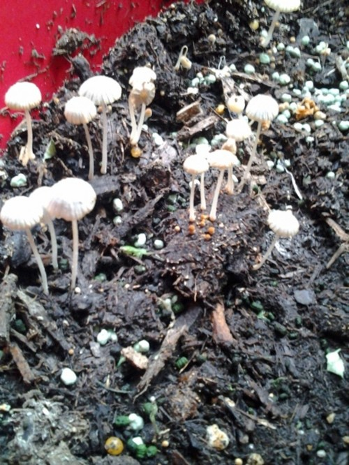Why are mushrooms sprouting from potting soil for Black garden soil