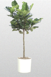 Fiddle Leaf Fig Tree traditional-plants
