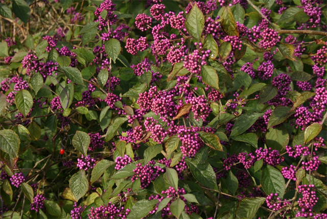 Beauty berry (Callicarpa)