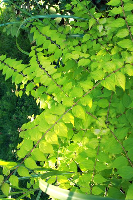 Dream Catcher™ beauty bush (Kolkwitzia Dream Catcher™)