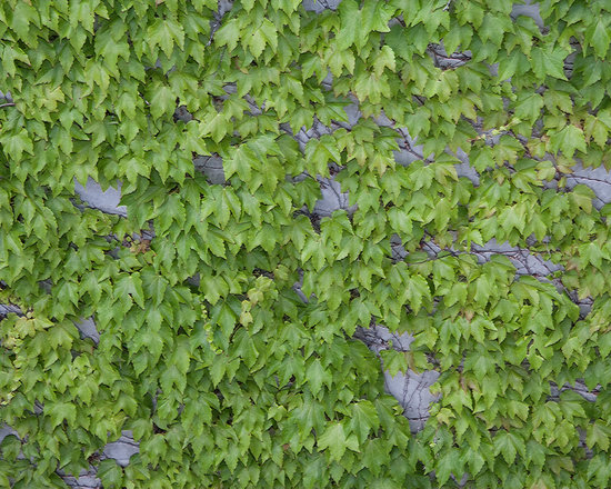 Ivy on Wall -