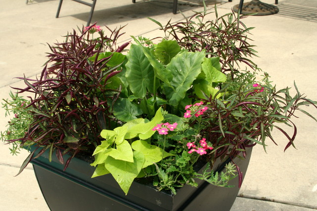 Poolside tropical container garden outdoor pots and planters st louis by kim gamel - Tropical container garden ...