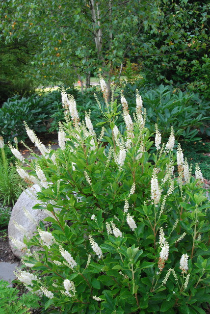 Great Design Plant: Sweet pepper bush