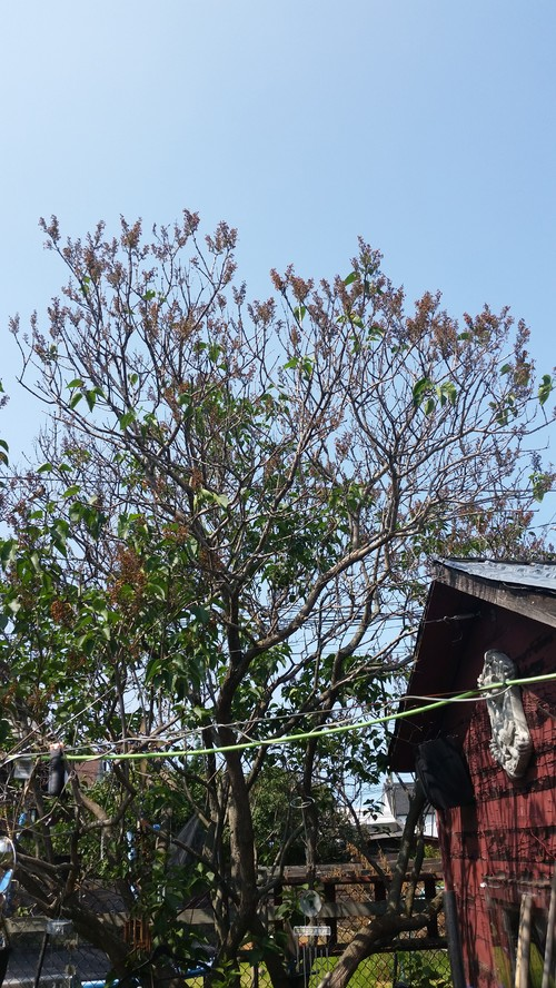 What is wrong with my lilac : home design from forums2.gardenweb.com size 500 x 888 jpeg 195kB