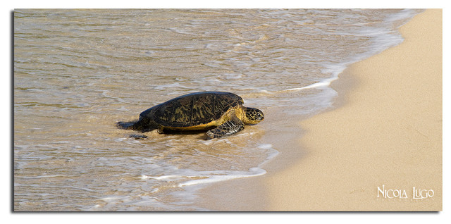 Nicola Lugo 'Baby Sea Turtle'  20x40-inch Canvas Wall Art beach-style-prints-and-posters