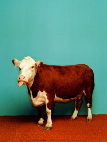 """Cow"" Poster by Catherine Ledner eclectic-artwork"