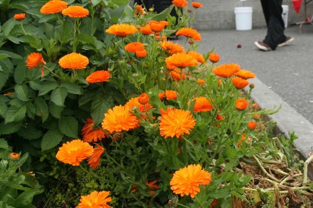 Calendula orange.jpg