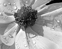 Anemone Poppy In Black And White by Ben and Raisa Gertsberg - art print, giclee contemporary-artwork