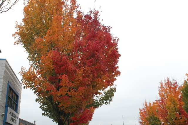 Trees With Outstanding Autumn Colour contemporary