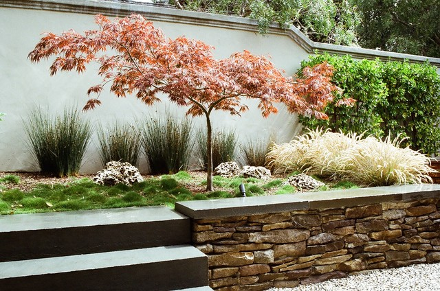 Lacy form and fiery fall color make Japanese maple a welcome tree ...