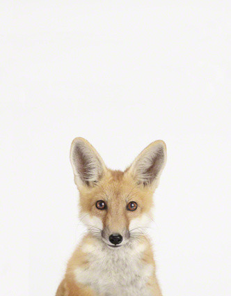 Baby Fox Close-Up contemporary nursery decor