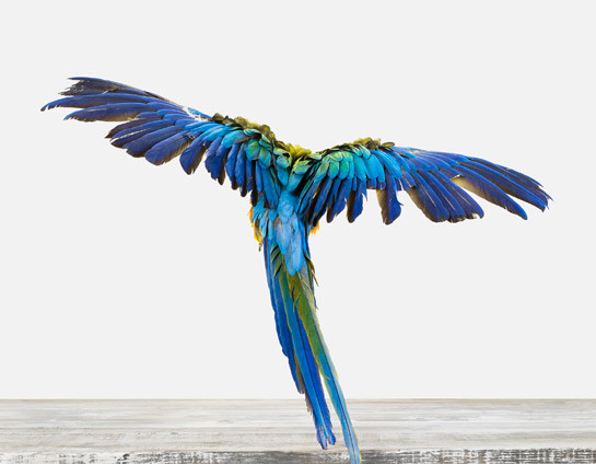Macaw Limited Edition Print artwork