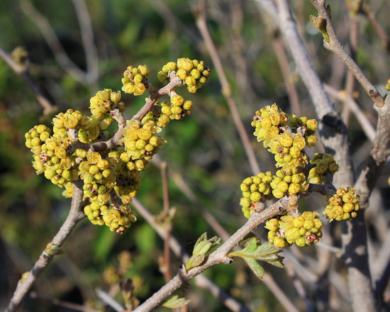 Fragrant Sumac - Not So Hollow Farm