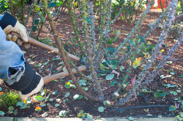 013.Rose Pruning Tips