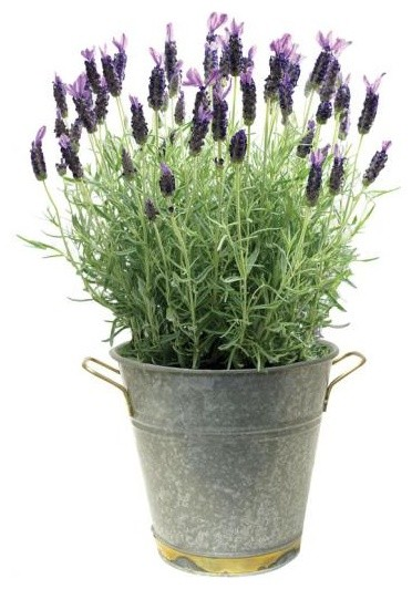 Lavender plant traditional plants by home decorators collection - Growing lavender pot ...