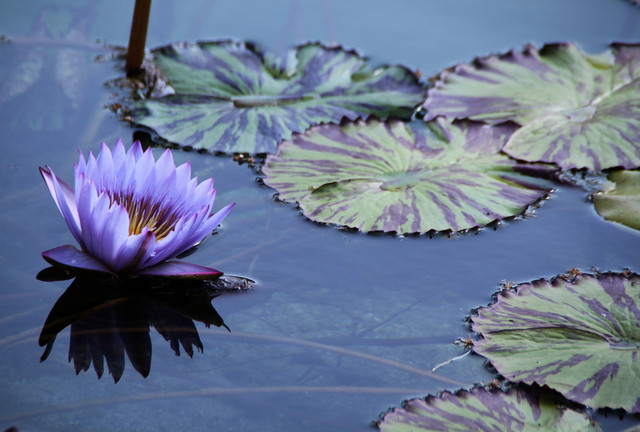 Purple Water Lily by Diane Modafferi traditional artwork