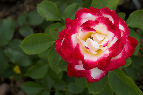 osiria rose slow grower. Black Bedroom Furniture Sets. Home Design Ideas
