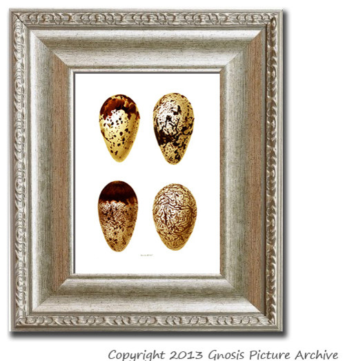Antique Bird Eggs Print No. 9 traditional-prints-and-posters