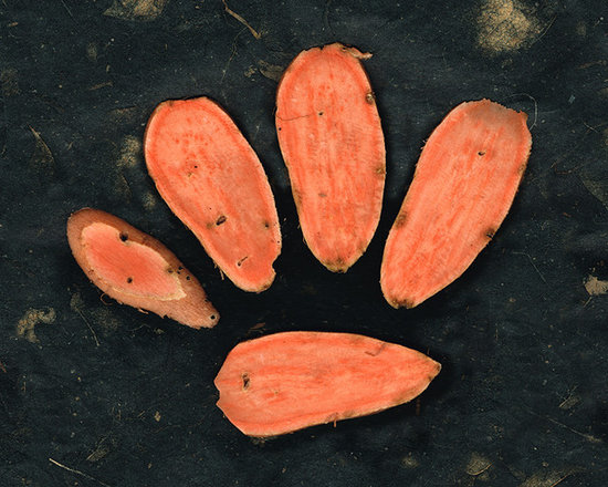 Animals, Fish and Birds - Sweet Potato Dog Paw by Sharon Cummings. Buy Fine Art Prints Online.