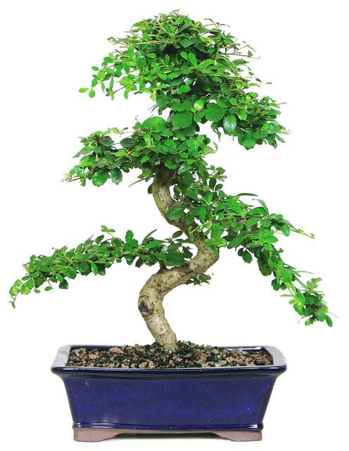 Fukien Tea Bonsai Tree, Large asian-plants