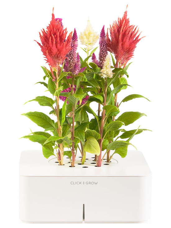 Click and Grow - Click & Grow Smartpot with Cockscomb - The Click and Grow Smartpot Cockscomb starter kit is the perfect houseplant solution for impatient flower lovers. Cockscomb, originating from East Africa's highlands, is an eye-catching plant that is easy to grow in your Smartpot. In darker winter months, use the Smartpot grow lamp for added light. To get started, pop the cockscomb cartridge into your Smartpot, add 4 AA batteries and fill the water tank. Sprouts appear in 2-3 weeks and flowers in 2-4 months. Enjoy for 6-8 months.  The Smartpot is virtually maintenance free - the sensors, software, and nano-tech soil monitor the plant to keep it healthy and growing at all times. The Smartpot also has many refill options with flowers and edible culinary herbs.