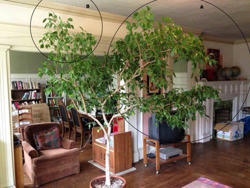 branch pruning ficus benjamina
