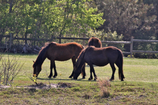 Wild Horses of Corolla traditional-artwork