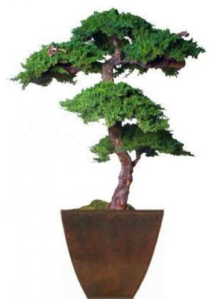 6' Monterey Preserved Bonsai Tree asian-artificial-flowers-plants-and-trees