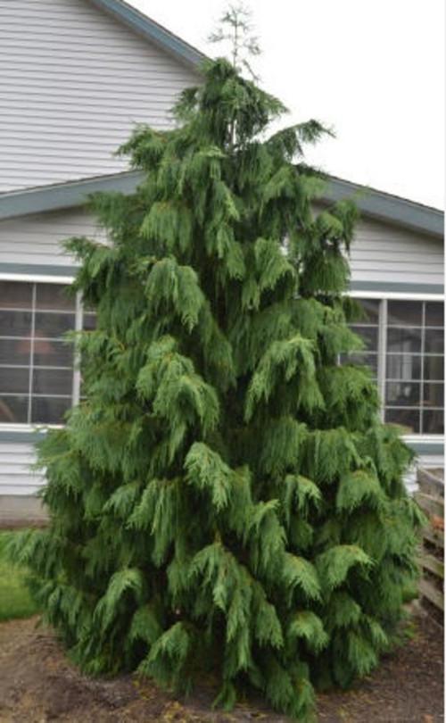 What Is This Variety Of Weeping Alaskan Cedar Called