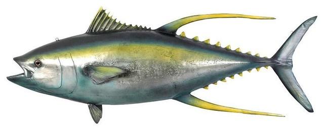 Yellowtail tuna for Yellow tail fish