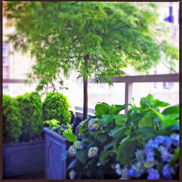 Nyc small terrace balcony roof garden container plants for Small trees for japanese garden