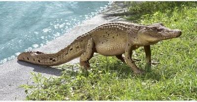 Design Toscano The Grand-Scale Wildlife Animal Walking Crocodile Garden Statue modern-garden-statues-and-yard-art