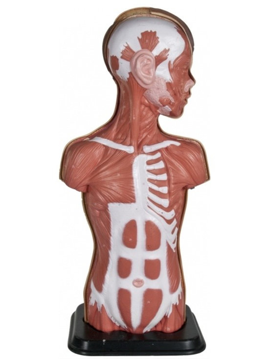 Male Torso Anatomical Model - Vintage anatomical model of a male torso.